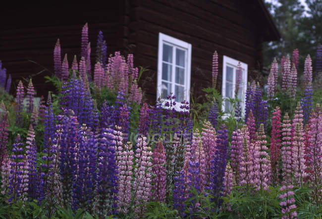 Front view of lupines near wooden cottage — Stock Photo
