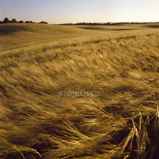 Wheat field bend in wind in bright sunlight — Stock Photo