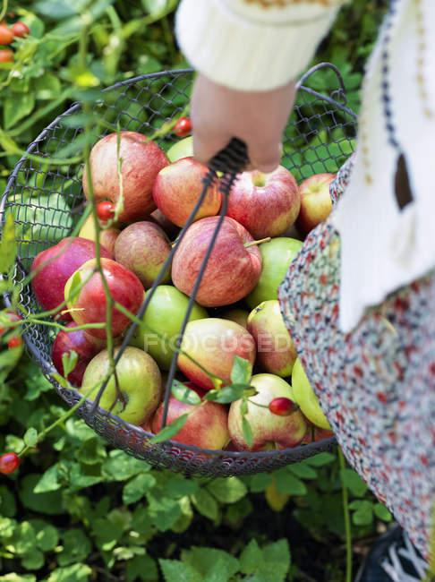Mujer con cesta de metal llena de manzanas - foto de stock