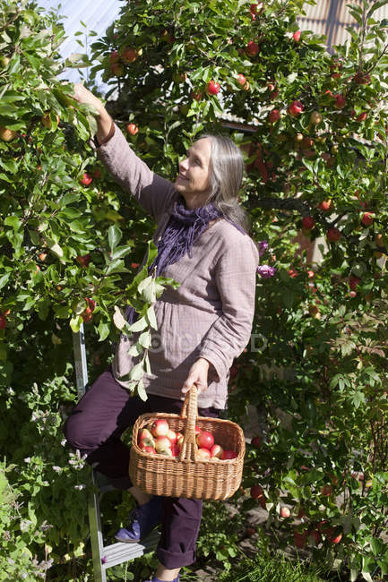 Senior woman picking apples to basket in orchard — Stock Photo