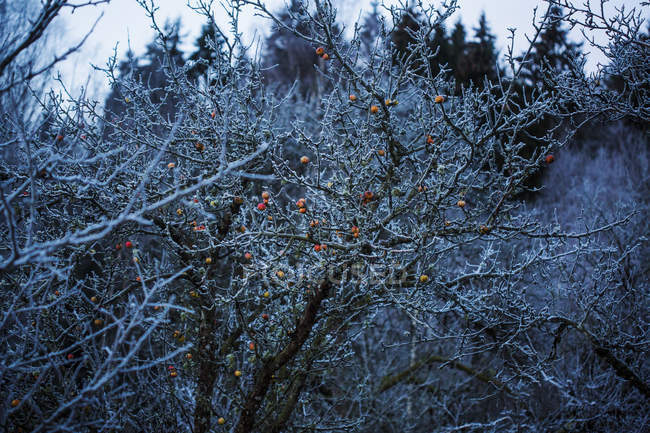 Apples on bare tree covered in frost — Stock Photo