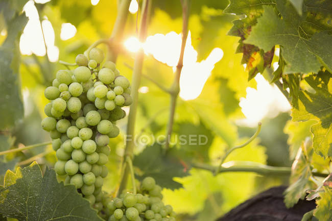 Close-up of bunch of green grapes in vineyard — Stock Photo