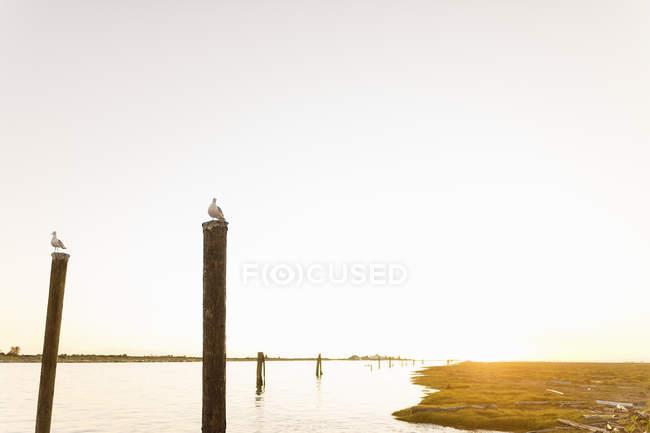 Gabbiani appollaiati su pali di legno in riva al mare durante il tramonto — Foto stock