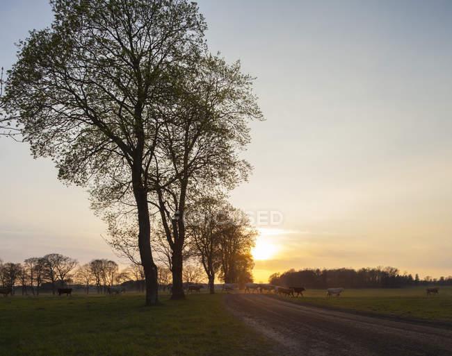 Коров, пасущихся на зеленых полях на закате — стоковое фото