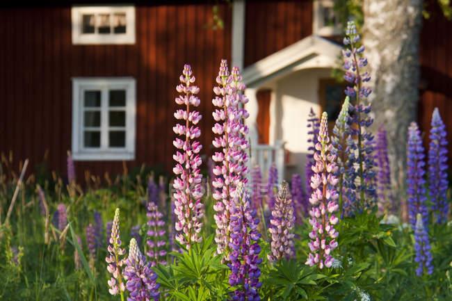 Крупным планом снимок цветов волчанки на фоне дома — стоковое фото
