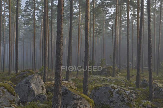 Вид хвойных лесов с Мосс на скалах — стоковое фото