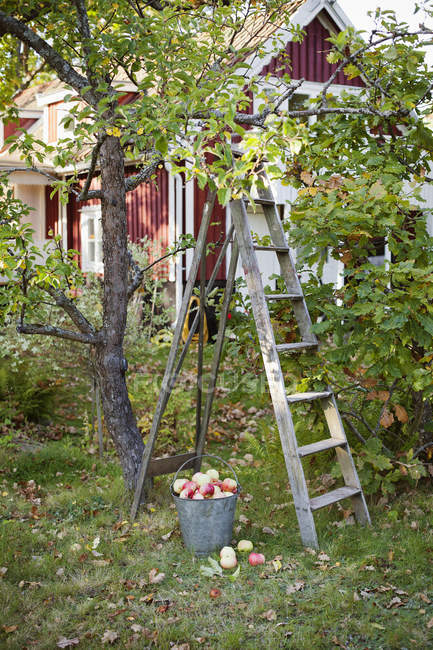 Front view of bucket full of apples and ladder — Stockfoto