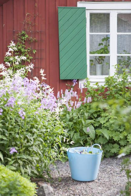 Cohete de las damas y pasto en el patio trasero - foto de stock