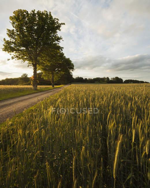 Chemin dans le paysage rural avec arbres verts et champ de blé — Photo de stock