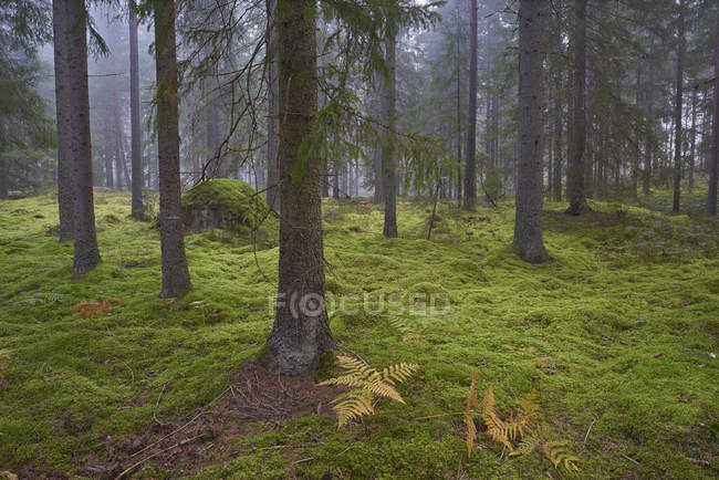 Spruce trees, fern plants and green grass in mossy forest — Stock Photo
