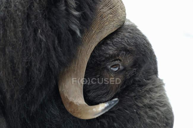 Nahaufnahme von Bisonauge und Horn — Stockfoto