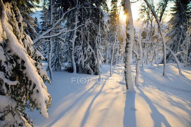 Snow covered forest trees in sunrise light — Stock Photo