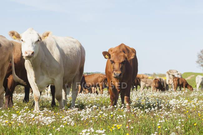 Вид от коров, пасущихся на зеленом поле — стоковое фото