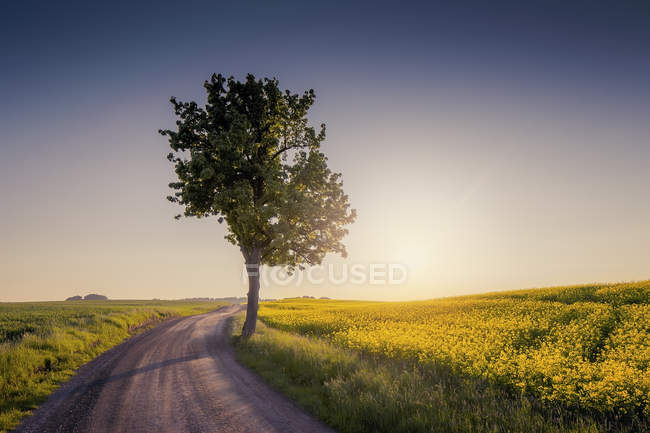 Rural road in green landscape with tree in sunset light — Stock Photo