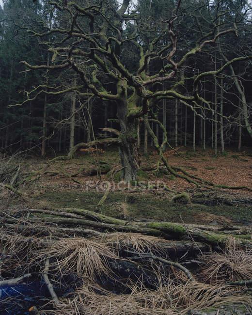 Vista frontal da árvore morta na floresta — Fotografia de Stock