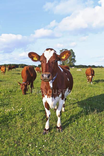 Vista delle mucche al pascolo sul campo verde — Foto stock
