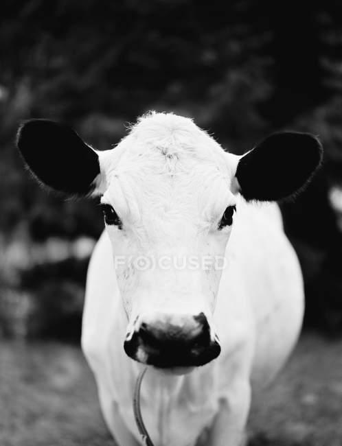Vista frontal de la cabeza de la vaca blanca - foto de stock