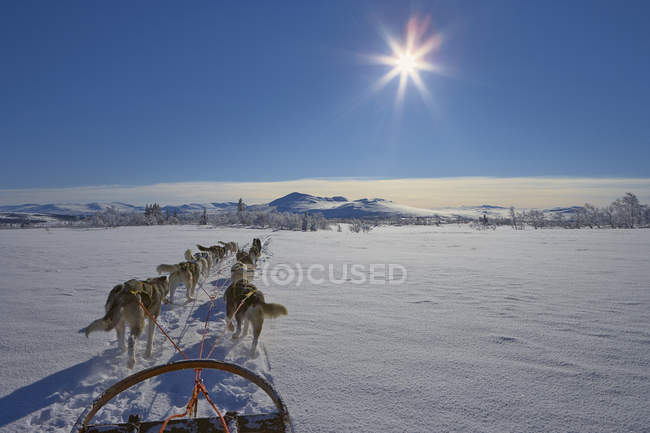 Mostra di cani da slitta nella neve paesaggio innevato — Foto stock