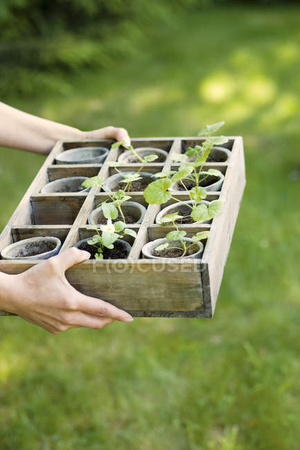 Female hands holding box with flower pots — Stock Photo