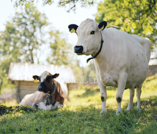 Duas vacas com rótulos auriculares em pasto — Fotografia de Stock