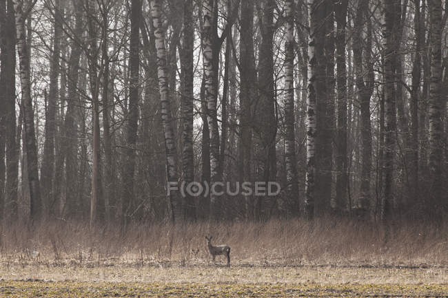 Doe deer standing in meadow beside forest — Stock Photo