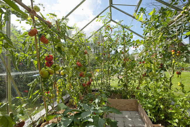 Front view of tomatoes growing in greenhouse — Stock Photo