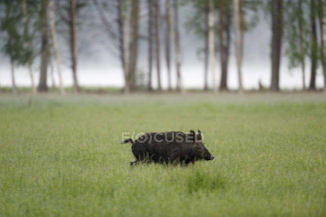 Side view of wild boar on green grass — Stock Photo