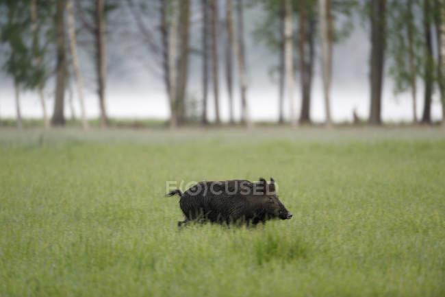 Vista laterale del cinghiale su erba verde — Foto stock