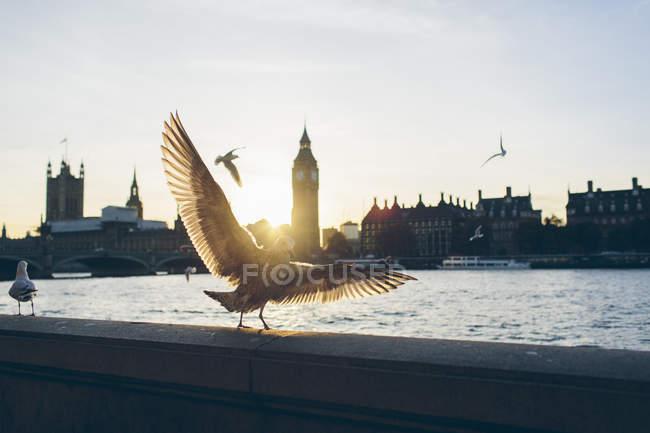 Oiseaux sur la rive de la Tamise avec les chambres du Parlement et le pont Westminster en arrière-plan — Photo de stock