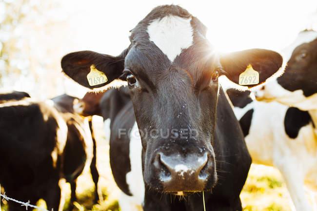 Закрыть вверх выстрел коровы, глядя на камеру — стоковое фото