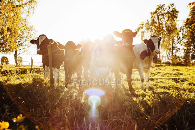 Cows standing behind barbed fence in bright sunlight — Stock Photo