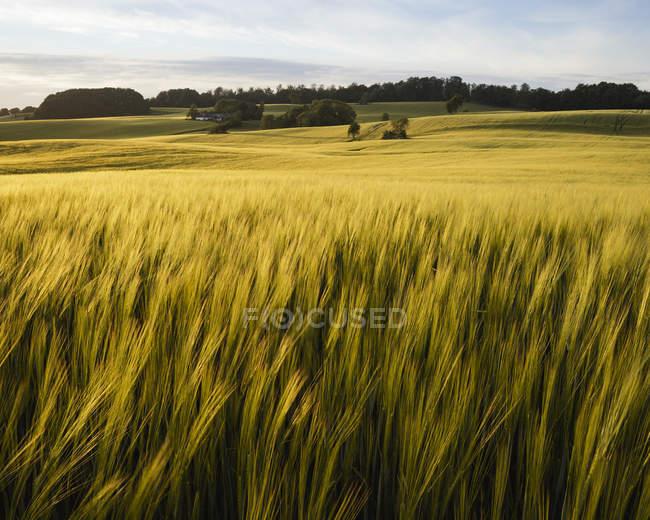 Campo della pianta agricola cereali sotto il cielo nuvoloso — Foto stock