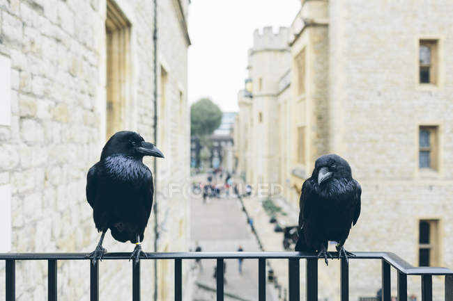 Ravens on railing at Tower of London — Stock Photo
