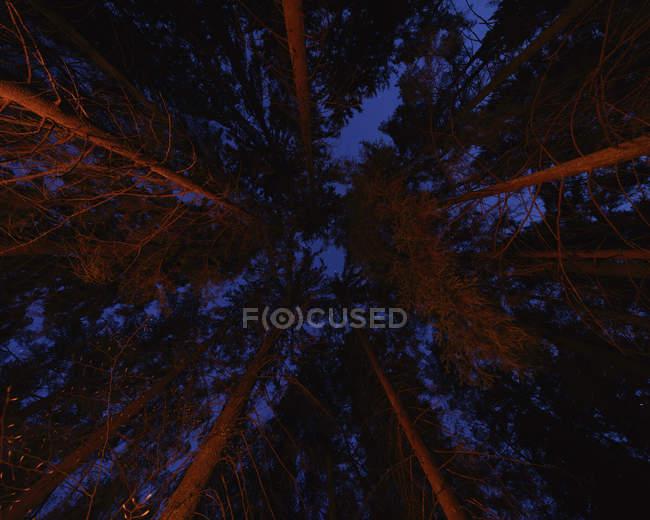 Высокие деревья в сумерках, прямо под ними — стоковое фото