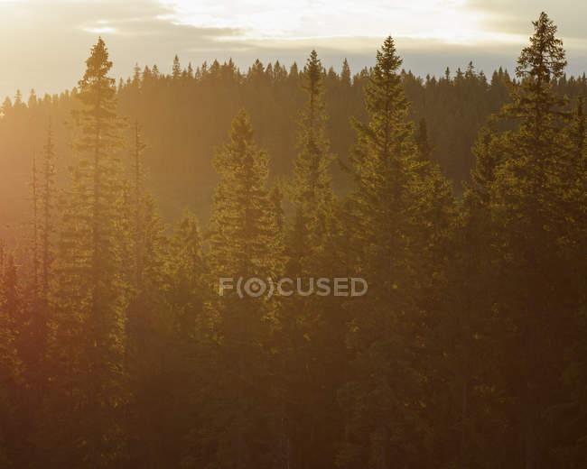 Vue panoramique sur la forêt verte au coucher du soleil — Photo de stock