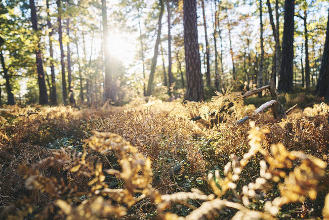 Surface level of sun shining in autumn forest — Stock Photo