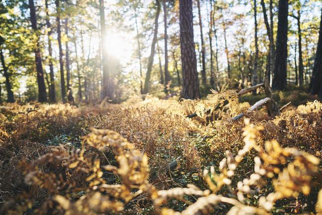 Nivel de superficie del sol que brilla en el bosque de otoño - foto de stock