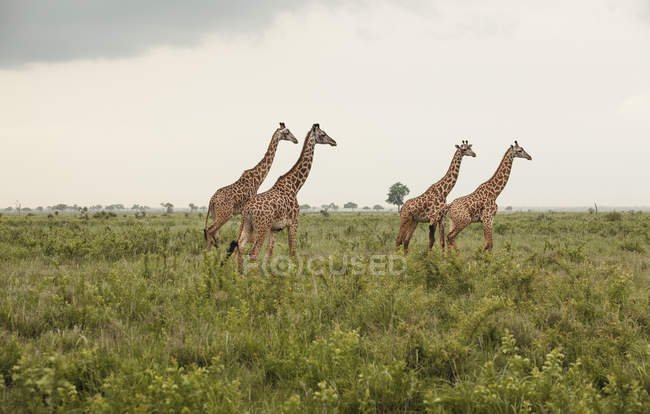 Side view of giraffes in savannah, mikumi national park — Stock Photo
