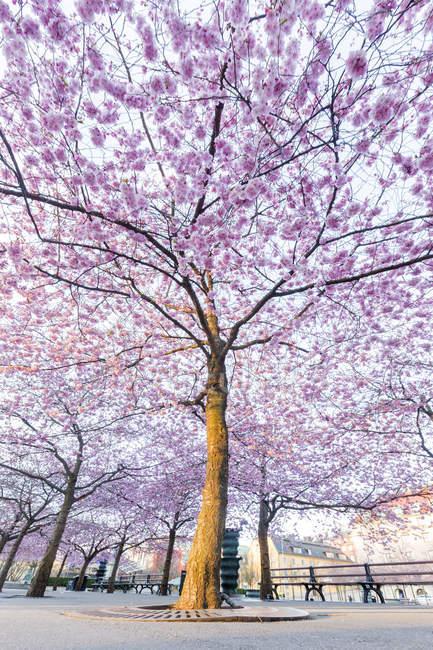 Низький кут огляду вишні цвітіння навесні — стокове фото