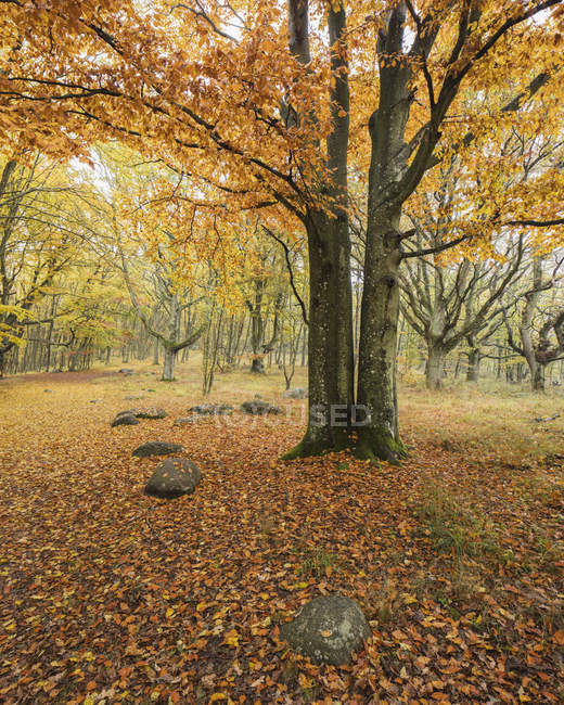 Autumn forest with yellow leaves at national park — Stock Photo
