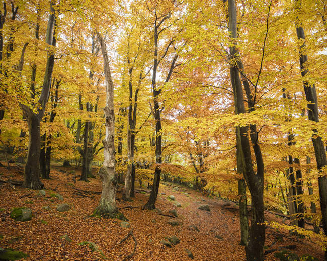 Autumn forest with yellow leaves, tranquil scene — Stock Photo