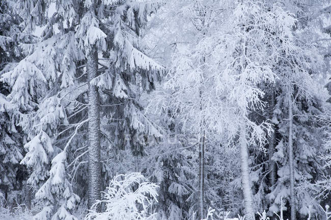 Scenic view of snowy forest in winter — Stock Photo