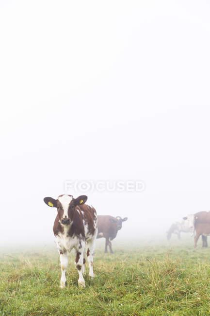 Kühe auf der Weide im Nebel, selektiven Fokus — Stockfoto