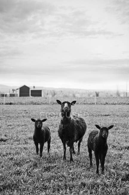 Lambs on pasture under cloudy sky, focus on foreground — Stock Photo