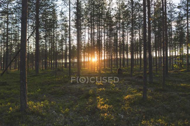 Malerischer Blick auf den Wald bei Sonnenuntergang, vasterbotten County — Stockfoto