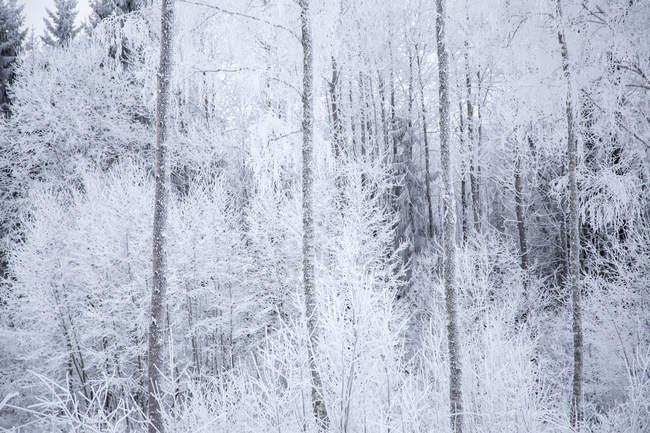 Vista panoramica di alberi bianchi nella foresta in inverno — Foto stock