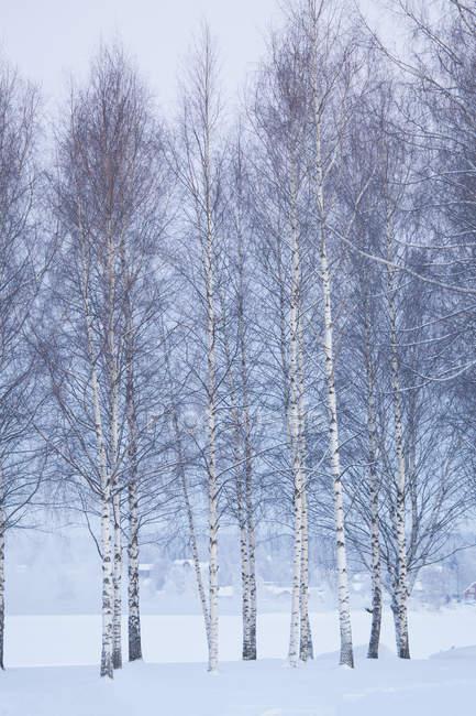 Высокие голые деревья зимой, Северная Европа — стоковое фото
