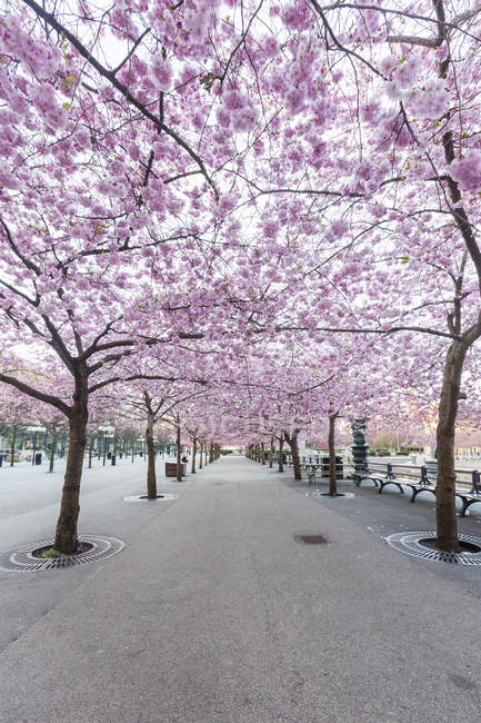 Scenic view of cherry blossom in spring — Stock Photo