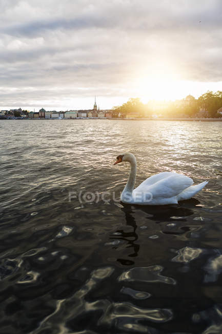 View of white swan at water in Sweden — Stock Photo