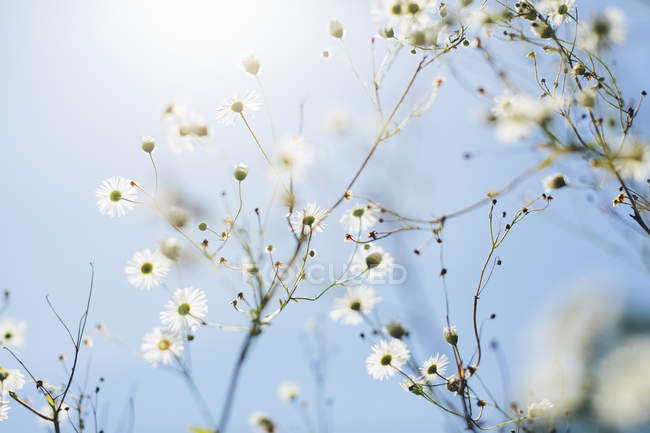 Daisies against blue sky, selective focus — Stock Photo